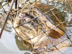 Large snapping turtle caught in trap Photo