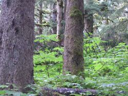 Devil's club on forest floor, large spruce, and moss in rain forest environment of Spruce Island Photo