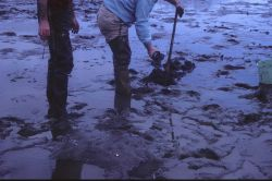 Digging for geoduck clams Photo
