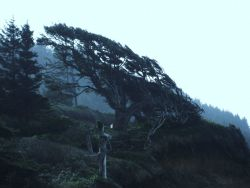 Wind-sculpted tree seemingly frozen in direction of prevailing onshore winds. Photo