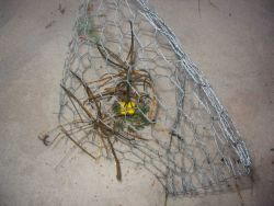 Menzies wallflower protected by wire cage Photo