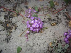 Lavendar sand verbena (Abronia umbellata) Photo