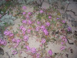 Pinkish-lavendar sand verbena (Abronia umbellata) Photo