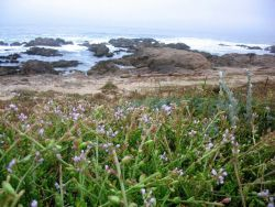 Unidentified lavendar flowers with rocky shore and ocean in the background. Photo