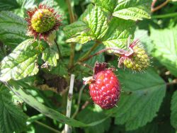 Salmonberry (Rubus spectabilis), an edible berry that is common in southern Alaska. Photo
