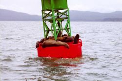 Sea lions find a resting place on a buoy in the labyrinth of Southeast Alaska waterways. Photo