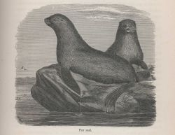 Fur seal from