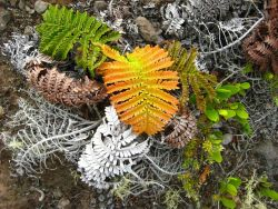 The amaumau fern (Sadleria cyathoides) which commonly grows in moist forests and colonizes lava flows. Photo