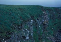 Kittiwakes along the cliffs of St Photo