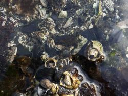 Various types of algae, limpets, at least one gastropod right in the center of the image, mussels and barnacles are found in this tide pool Photo