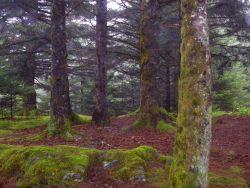 Moss covered spruce on Kodiak Island Photo