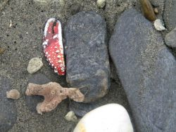 Sponge, crab claw and cobbles on the beach at Nome. Photo