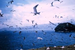 A species of tern on Bird Island Photo