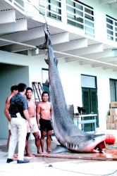14-foot, 1200 pound tiger shark caught in Kaneohe Bay, Oahu Photo