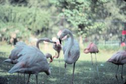 Flamingoes in a park. Photo