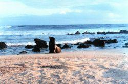 Galapagos sea lions - Zalophus californianus wollebacki. Photo