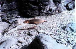 Galapagos sea lion - Zalophus californianus wollebacki and a marine iguana - Amblyrhynchus cristatus. Photo
