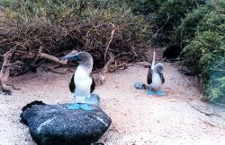 Blue-footed boobies - Sula nebouxii. Photo