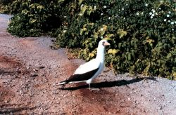 Masked booby - Sula dactylatra. Photo