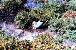 Masked booby - Sula dactylatra - tending nest. Photo
