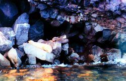 Galapagos sea lions - Zalophus californianus wollebacki - lounging on basalt blocks along a volcanic rock shoreline. Photo