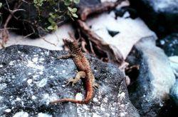 An orange lava lizard with black spots Image
