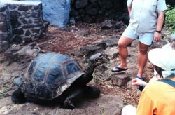 Tortoise at the Charles Darwin Scientific Station Photo