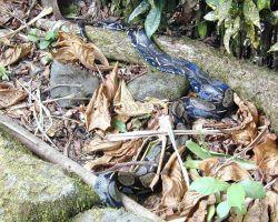 A wild boa constrictor at Isla Gorgona. Image