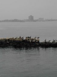 Pelicans line the breakwater at the harbor entrance to Callao, Peru Photo