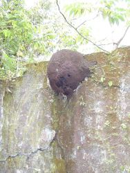 A termite mound built on a wall at the Isla Gorgona prison. Image