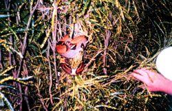 A boa constrictor in the bushes of Isla Gorgona Image