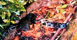 A boa constrictor on Isla Gorgona. Image