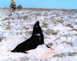 Sealion contemplating venturing where no sealion has gone before. Photo