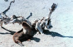 Sealion and driftwood Photo