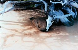 Sea lion taking it easy in the shade of dead tree roots Photo
