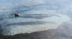 Sea lion cooling off in a shallow tidal pool Photo