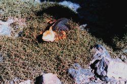 A land iguana Image
