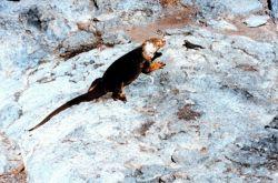 A land iguana confronting a smaller marine iguana Image