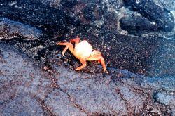 A Sally Lightfoot crab Image