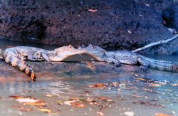 Cayman - Caiman crocodilus - along a river bank. Photo