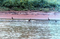 Northern jacana birds (Jacana spinosa) patrolling for unsuspecting creatures to eat Photo