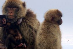 The Barbary Apes - really tail-less monkeys known as Barbary Macaques Photo