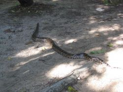 A large constrictor on the beach at Pandan Island Image