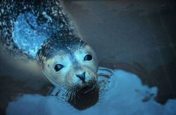 Narragansett Bay National Estuarine Research Reserve Harbor seal - Phoca vitulina Photo