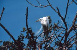 Narragansett Bay National Estuarine Research Reserve Great egret - Casmerodius albus Photo