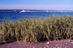 Narragansett Bay National Estuarine Research Reserve A stand of Spartina marsh grass at Potter Cove, Prudence Island. Photo