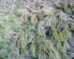 Dry Grass - Estuarine Research Reserve Collection Photo