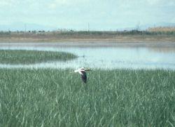 A bird flying over green grass - Bear River Wildlife Refuge, Utah Image