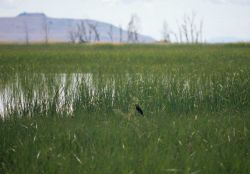 Yellow-headed black bird ( Xanthocephalus xanthocephalus). Photo