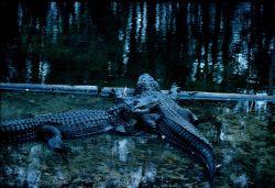 American alligators (Alligator mississippiensis) Image